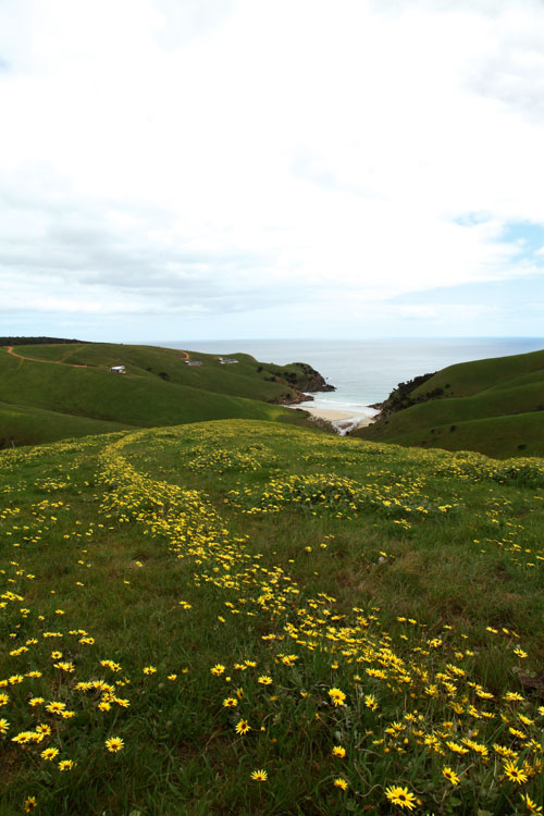 The cape weed at Kangaroo Beach Cover