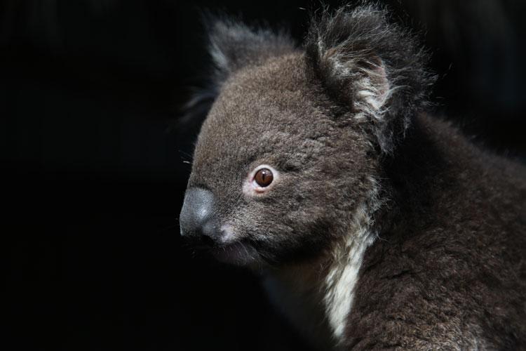 One of the hundreds of Koalas on Kangaroo Island