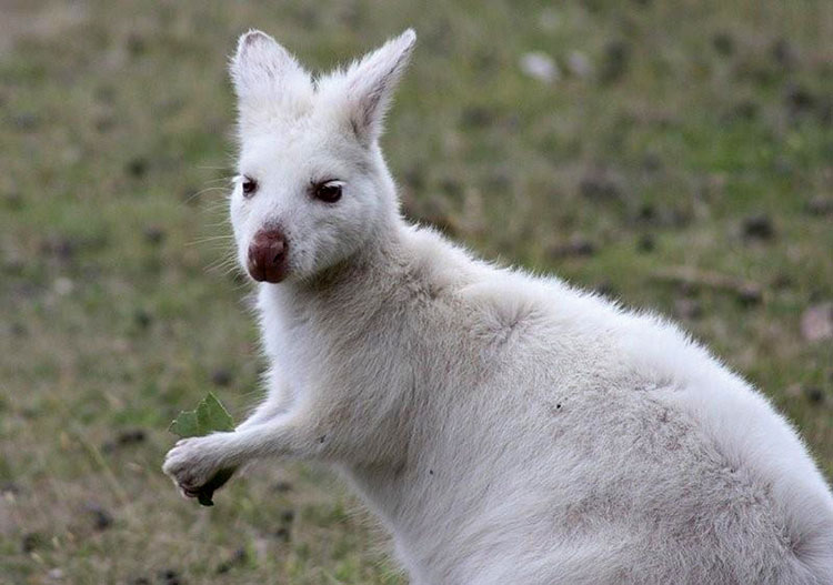 A white Bennett's wallaby