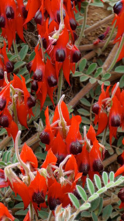 Sturt's Desert Pea Wildflowers