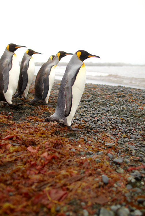 King Penguins prepare for a swim at Macquarie Island