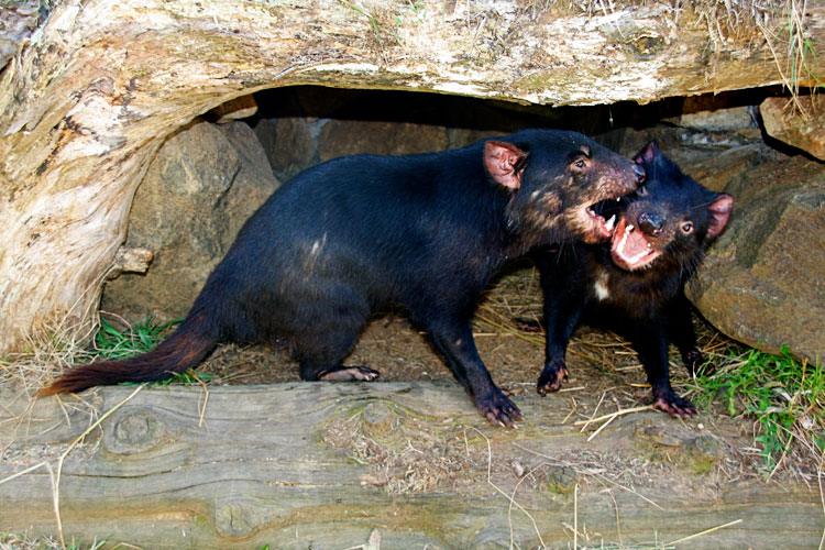 Ferocious Tasmanian Devil at the Tasmanian Devil Conservation Park