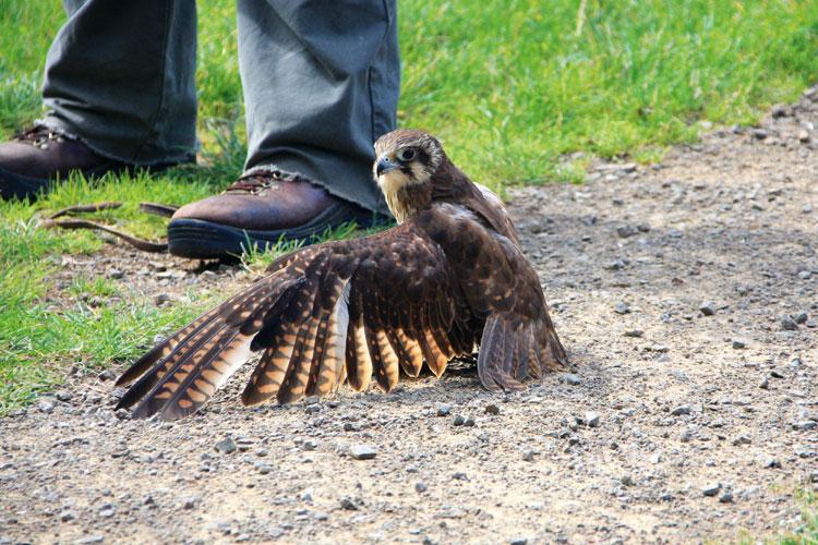 Australian Brown Falcon