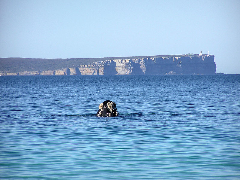 A whale sighting from Huskisson, with the Point Perpendicular Lighthouse in the distance. Image by Shoalhaven City Council