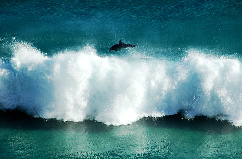 A dolphin at play off the coast of Albany. Image by City of Albany