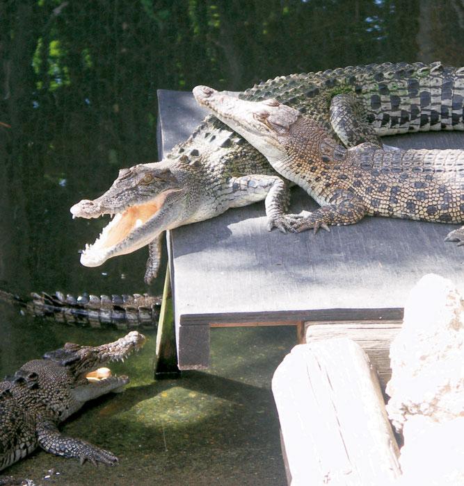 Crocs on parade. Image by Xavier Jefferson