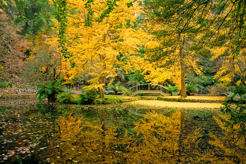 By Elana Bailey - Autumnal bursts of yellow at the Alfred Nicholas Gardens, Dandenongs, Victoria