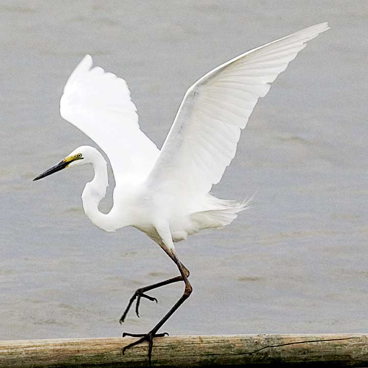 The white heron is one of many thousands of migratory birds that flock here each year to breed.