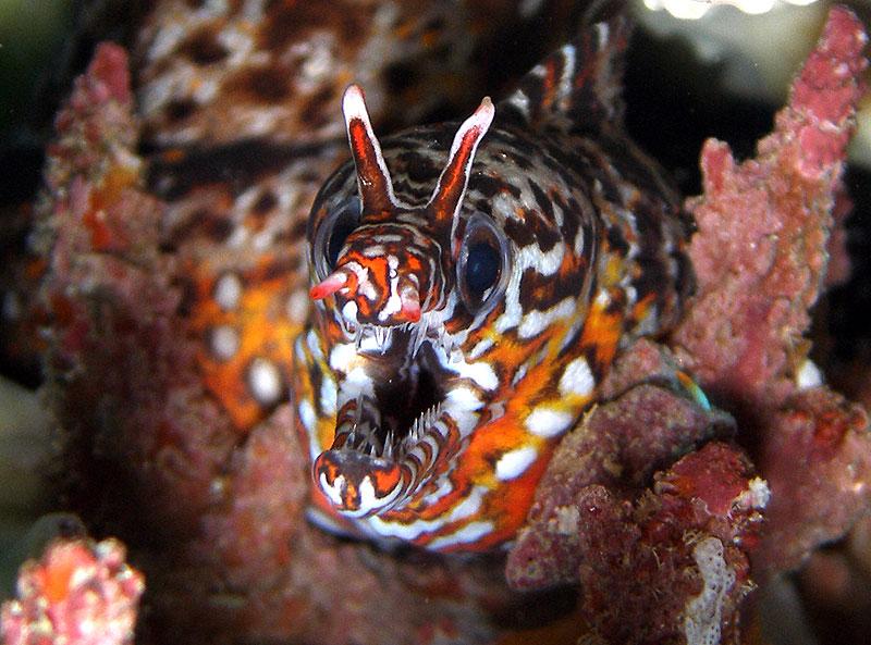 A dragon moray eel by Underwater Festival organiser Tim Hochgrebe