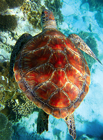 A turtle at Lady Elliot Island. Image by Marty Lei