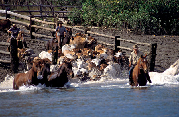 Monte Christo station hands guiding cattle across the Narrows on Curtis Island. Image by Turtle Street Resort