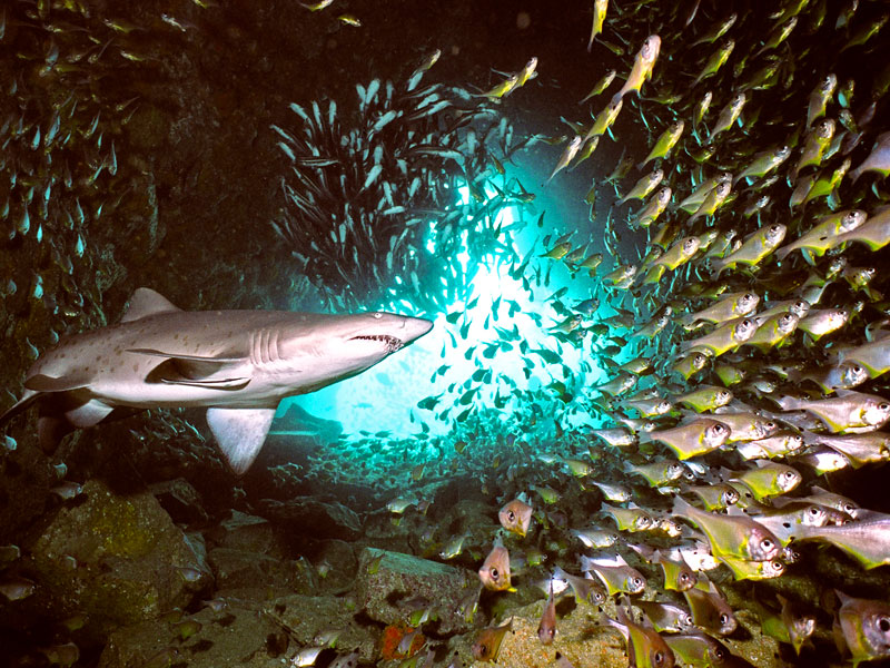 Grey Nurse Shark in Fish Rock Cave. Photo by Peter Hitchins, courtesy South West Rocks Dive Centre
