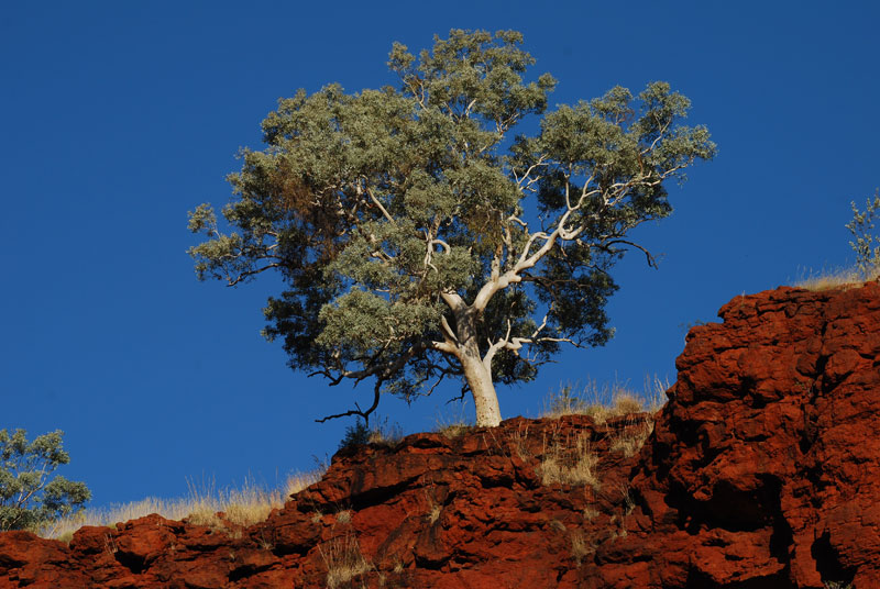 By Rui Jose, A tree, taken across one of the gorges of Karijini National Park in Western Australia.