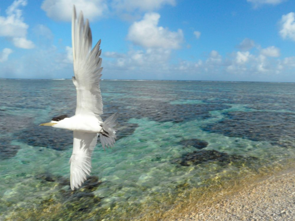 Crested Tern on Lady Elliot Island