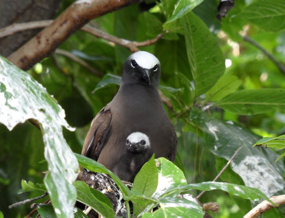 White Capped Noddy on Lady Elliot Island