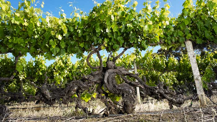 The picturesque Langhorne Creek is one of the least well known big producing wine regions in SA