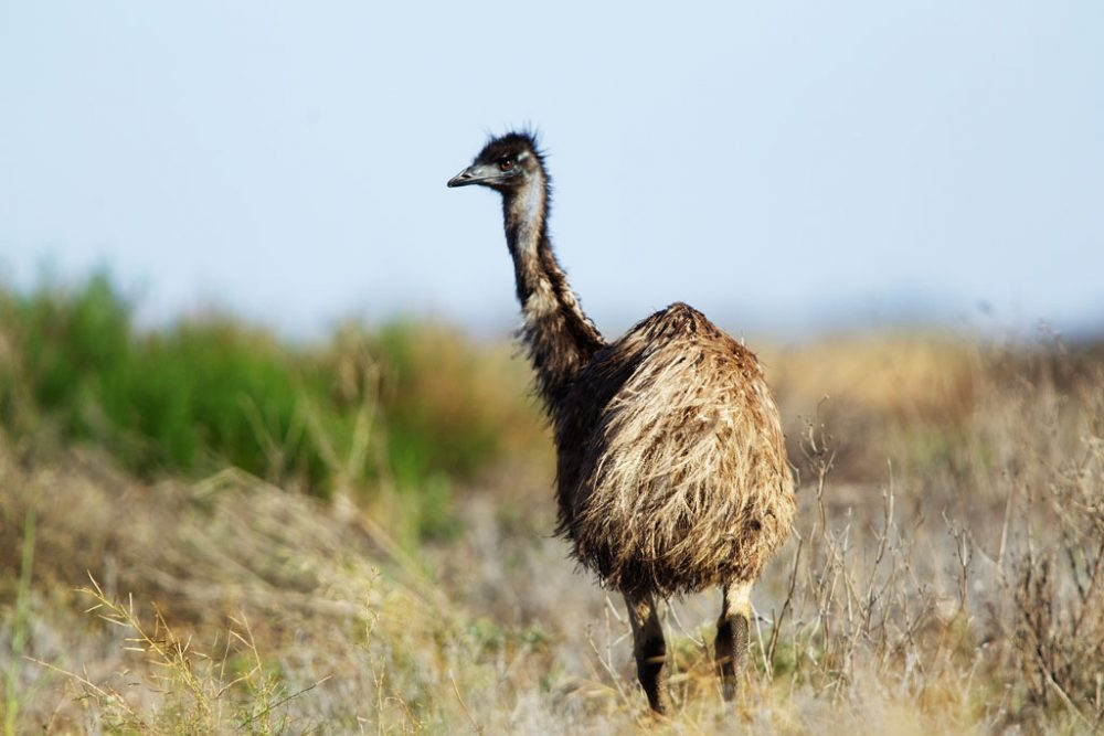 Emu on the Mallee Highway