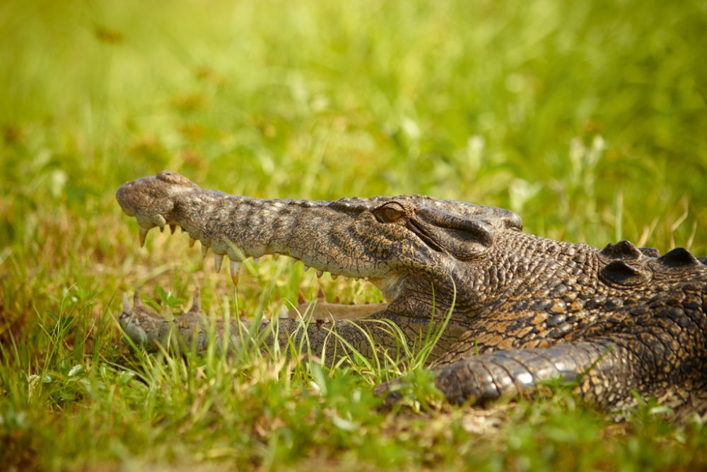 Saltwater Croc at Mount Borradaile