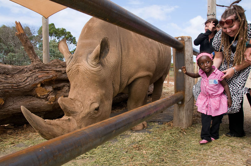 Close up encounter with a rhinoceros at Werribee Open Range Zoo in Victoria