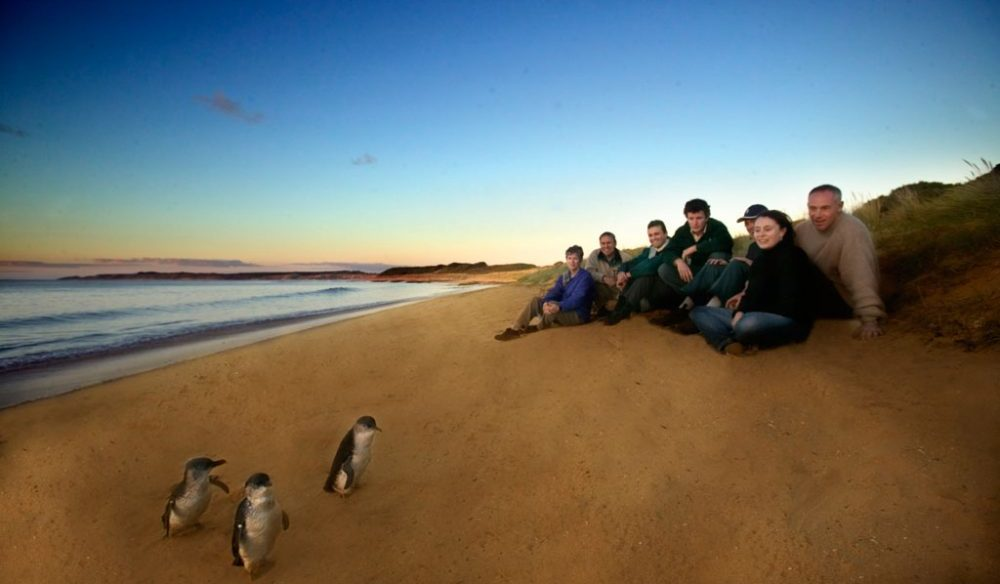 See Phillip Island fairy penguin parade