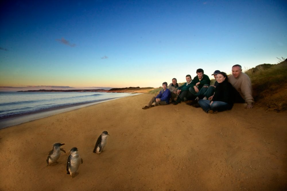 Up close and personal with Phillip Island's fairy penguins.
