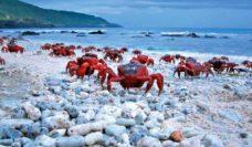 The red crabs of Christmas Island (photo: Inger Vandyke)