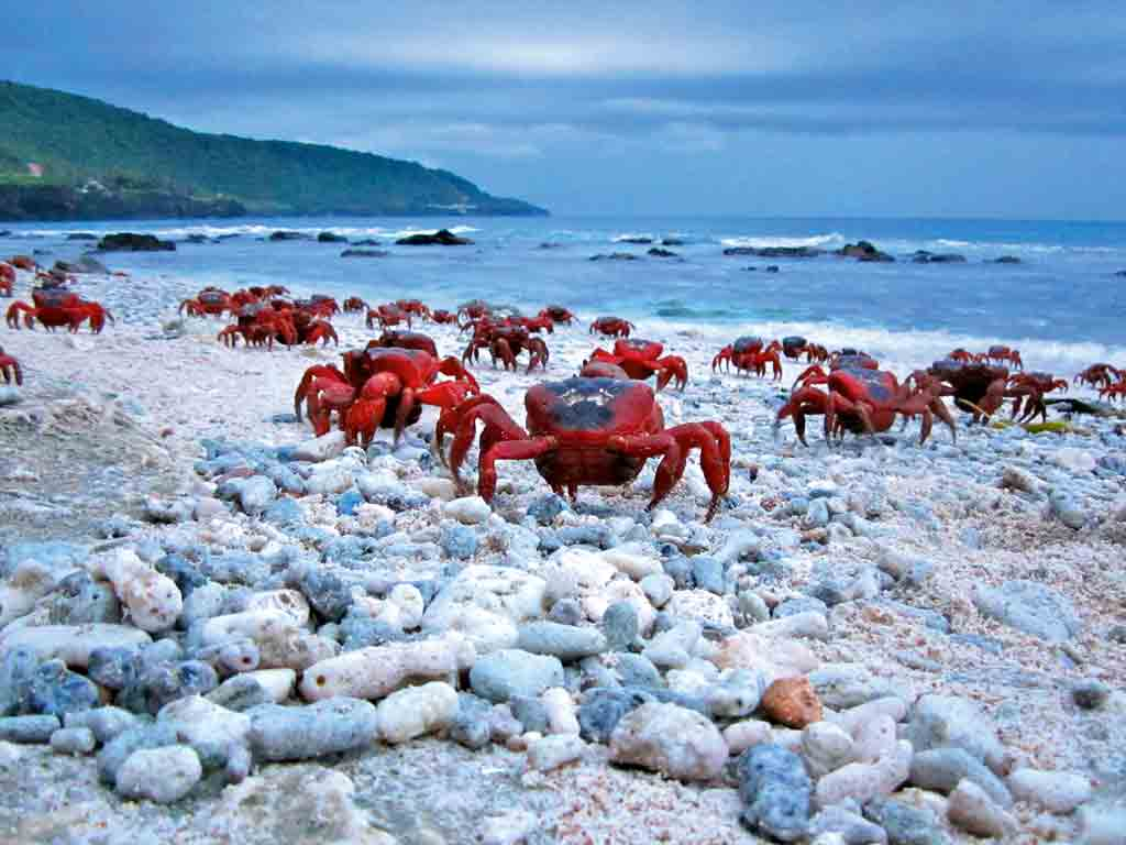 the red crabs of christmas island photo inger vandyke