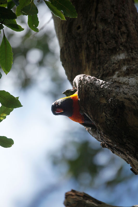 As you curve through North Harbour Reserve, you'll spot quite a few Rainbow Lorikeets staring down at you from the trees.