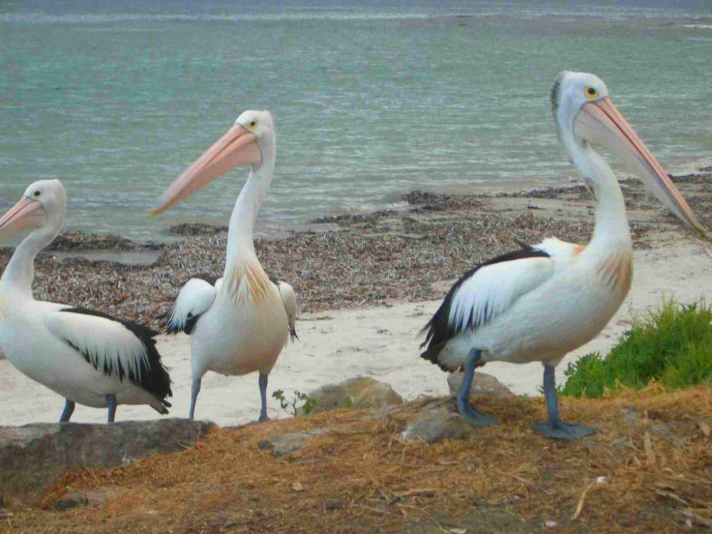 Sailability pelicans