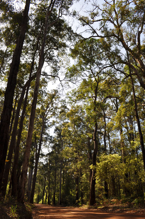 Karri tree forests