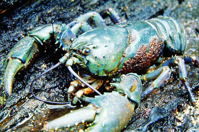 A giant freshwater crayfish – just one of the 56 endangered species living in the Tarkine.