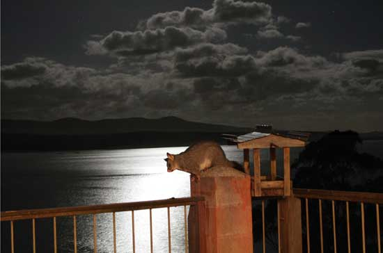 A possum at night on the verandah at Adobe Mudbrick Flats