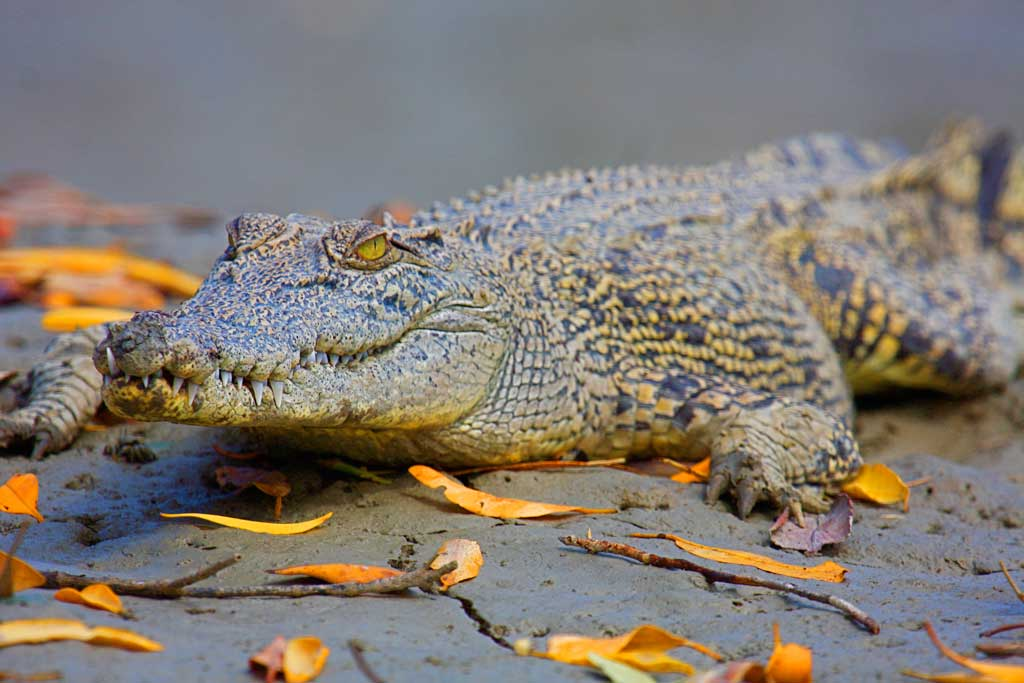 'Little Snapper', young saltwater crocodile
