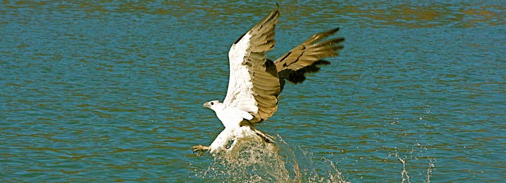 'Flying Catch', Whitebelly Sea Eagle fishing