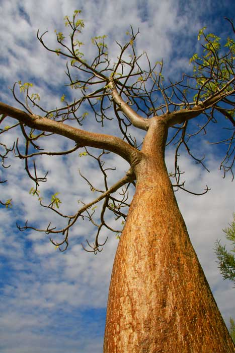 'Adansonia Gregorii',  the Boab Tree