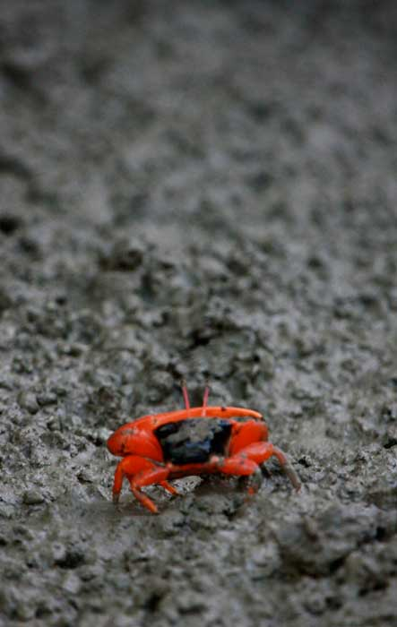 'Crimson Critter', Fiddler crab on a muddy Kimberley riverbank