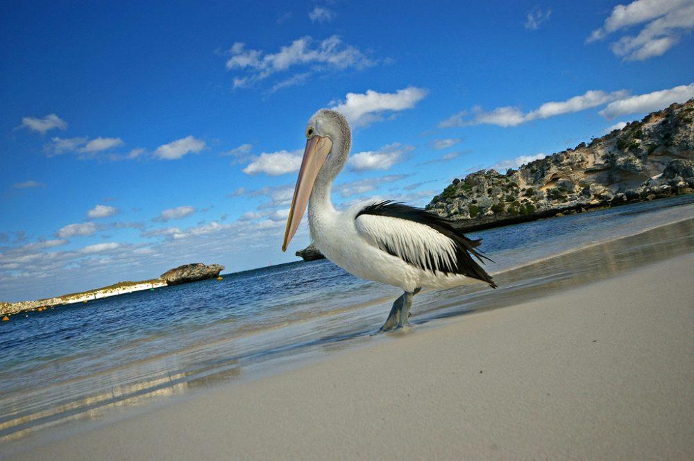 Pelican on Rottnest Island, WA.