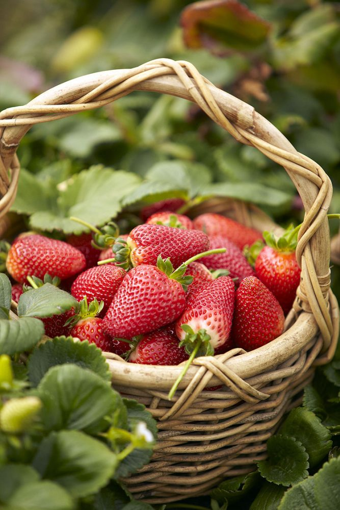 Beerenberg Strawberry Farm in the Adelaide Hills does a steady trade in public picking.