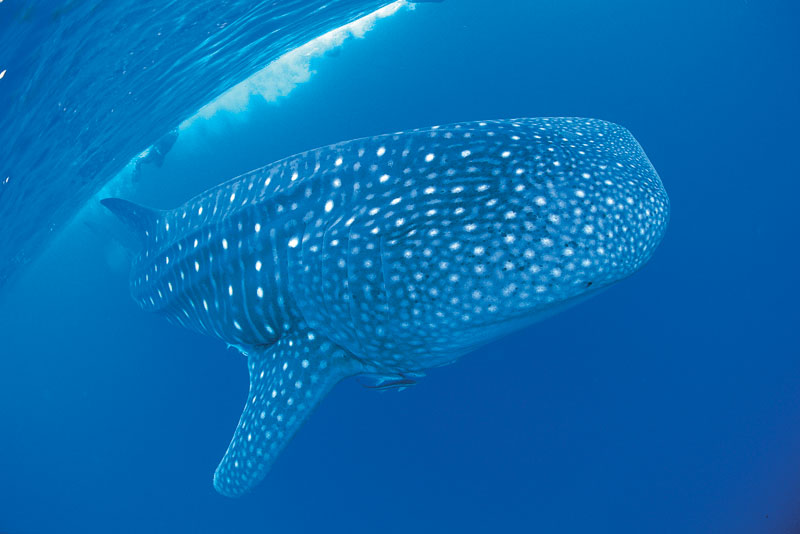 Dive into the pristine waters of Ningaloo Reef and swim with the giant whale sharks