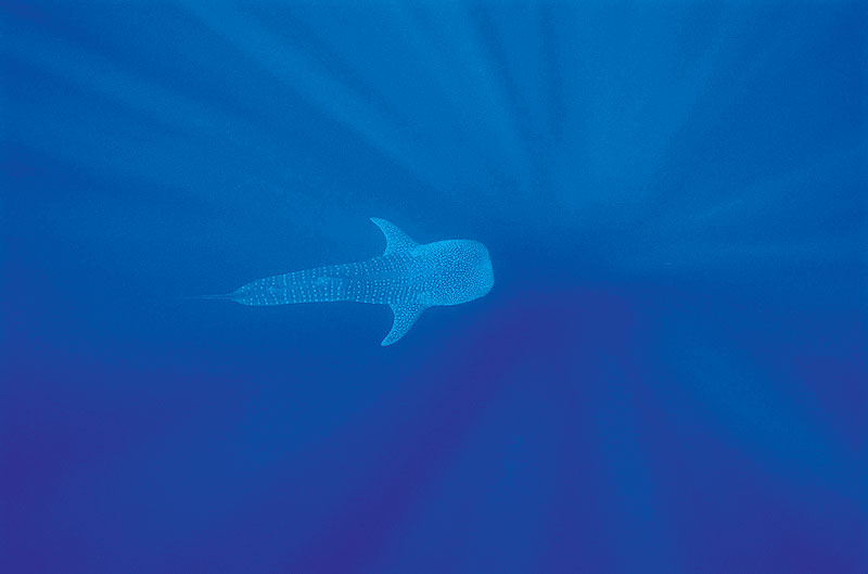 Between early April and July is the best time to see the whale sharks at Ningaloo