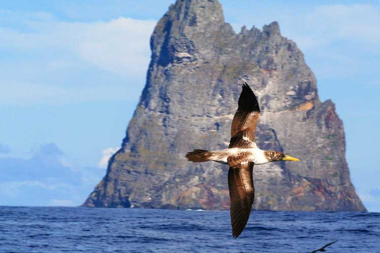 A juvenile masked booby soars past Ball's Pyramid just off Lord Howe Island.