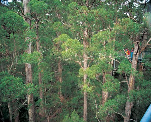 Walking amongst the massive Karri forrest on the tree-top walk near Pemberton is just part of the amazing Bibbulmun Track.