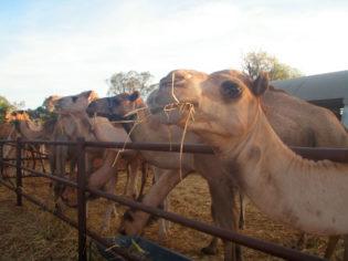 Get on board the camel train at Uluru