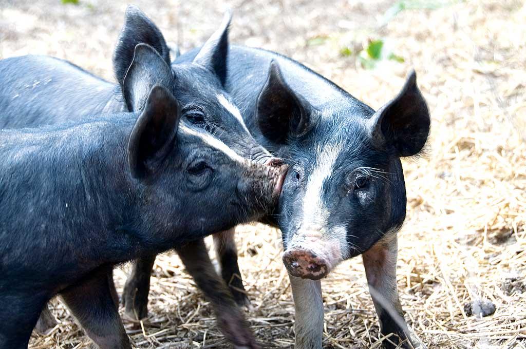 Free range Berkshire piglets