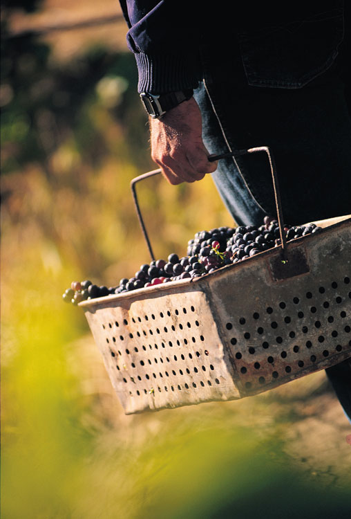 Harvesting some of Australia's best red grapes