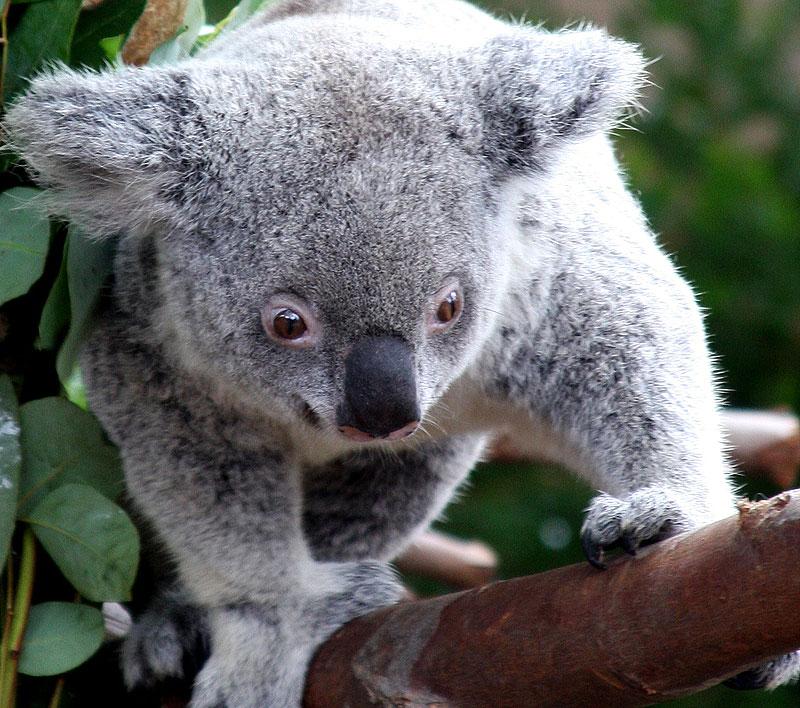 Visit the world's first koala hospital at Port Macquarie.