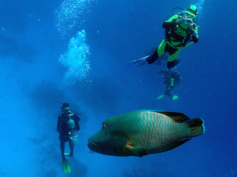 Divers with a Maori Wrasse by Andrew Read from NSW marine parks.