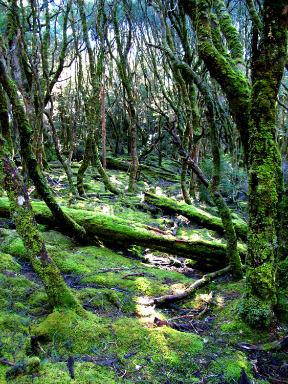 By Susanna Moreno, This was taken in the forest surrounding Cradle Mountain in TAS. It was so cold and damp and I doubt whether these tree trunks ever saw the light of day.