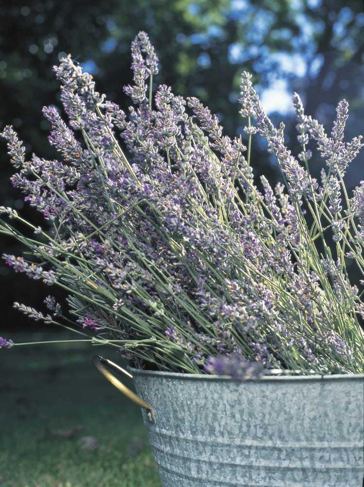 Lavender Farm (Jade Morcom-Phoenix and Tourism Qld)