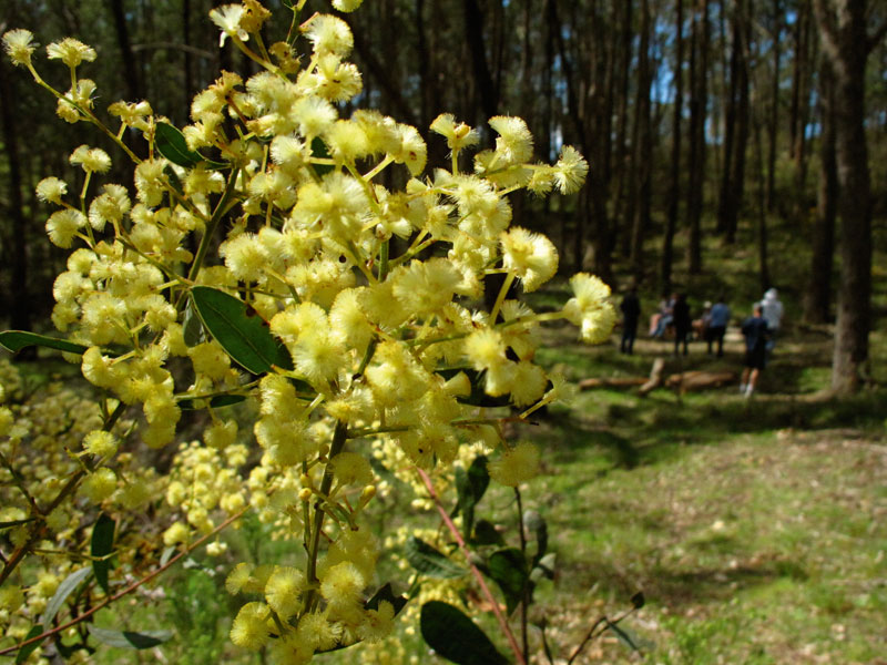 Wattle and walkers, Adelaide Hills, Photo by Fleur Bainger